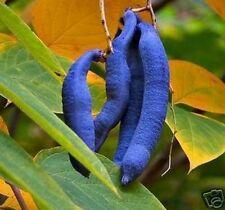 frostharter BLAUGURKENBAUM - grell, wunderschön, essbare Früchte, sehr selten !