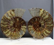 "7.8"" Large Split Pair Ammonite Sutured Shell Reiki Fossil With Stands, Amm126"