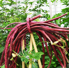 15 Red Cowpea Seeds Dolichos sinensis Organic Vegetable C115