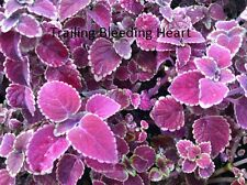 "COLEUS - TRAILING BLEEDING HEART - 4 LIVE PLANTS - 3"" POTS - FALL BATCH"