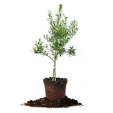Arbequina Olive Tree  Size:2-3 ft