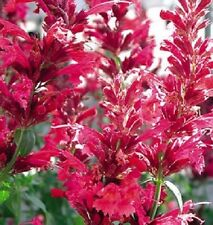 50+ Red Heather Queen Agastache / Long -Lasting Perennial Flower Seeds