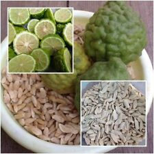 Kaffir lime 20 Seeds, Leech lime, Citrus hystrix, Herbs Seeds From Thailand.