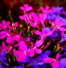 DARK PINK RED LOBELIA Trailing Hanging Basket Cascading Pot Planters 200 Seeds