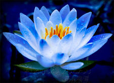 Blue Lotus / Nelumbo nucifera Flower seeds (2 seeds) X-003