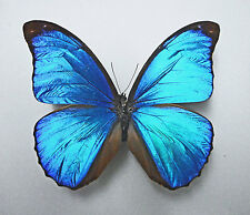MORPHO MENELAUS ssp.MENELAUS *male*(unmounted/getütet) FRENCH GUIANA