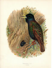 HENRIK GRONVOLD- A PAIR OF STARLINGS - ANTIQUE CHROMO LITHO  PLATE (c.1900)