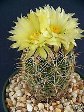 Coryphantha cornifera exotic rare bonsai pincushion cactus seed cacti 50 SEEDS