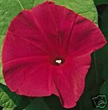 50 SCARLET O'HARA MORNING GLORY Red Imopea Nil Flower Vine Seeds *Comb S/H