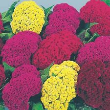 Flower - Celosia cristata - Amigo Mix - 50 Seeds