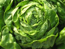 3000 BUTTER CRUNCH Lettuce Seeds, Lactuca sativa,  vegetable + FREE GIFT