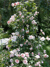 Climbing Colette Rose