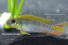 "(1) 1.25""+ Nanochromis consortus WILD Live Freshwater Tropical African Cichlid"