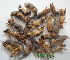 Wild Dried Mole Cricket Traditional Chinese Medicine 250g