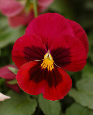 25 graines PENSEE GEANTE ROUGE CARDINAL (Viola wittrockiana)X89 RED PANSY SEEDS