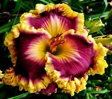 Daylily Seeds (Castle Rock x Face The Fire) (7) Seeds