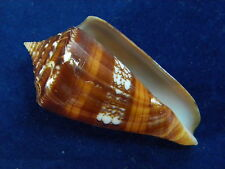 Sea shells Conus Amadis (Szech) 57mm ID#3397CA
