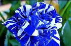 '35 Rose Rosen Samen Blue Dragon Seeds Gothic Gardenin- + Tribute - Geschenk