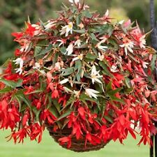 15 Pelleted Begonia Seeds Begonia Bossa Nova Mix Trailing Begonia
