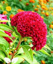 100+ Celosia Hot Pink Cockscomb Flower Seeds Reseeding Annual Organic Fresh