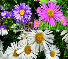 ALPINE ASTER MIXED COLOURS - 150 seeds - Aster Alpinus - Rockery FLOWER