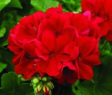 Flower Seed:Ringo 2000 Red Geranium Seeds  12 Seeds Fresh Seed  FREE Shipping
