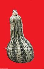 Cushaw Squash Heirloom Seeds 100 Winter Squash Wholesale Organic Angel Seeds
