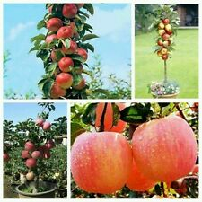 10 Seeds Bonsai Apple Fruit Seeds Imported indoor Fruit  apple