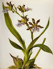 Botanical ORCHID Print Gallery Wall Art Shabby Chic Decor Zygopetalum C. 1721