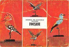 BR71989 foscani  romania jay Prigoria hoopoe   animal animaux