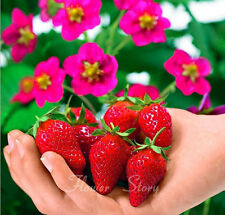 Gardening 400 Toscana Strawberry Seeds Fantastic Best Healthy Edible Fruit 1