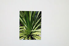 20 Seeds Cordyline australis,Piston tree,Clubs lily, # 245