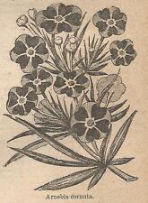 A1058 Arnebia cornuta - Stampa Antica del 1911 - Xilografia