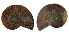 Anschliff Ammonit Cleoniceras besairiei ca. 100 Mio. Jahre Madagaskar