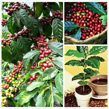 100Pcs Kona Coffee Bean Seeds Awesome Easy Plant Home Garden Seeds Well
