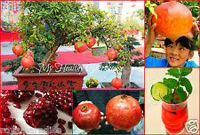 "10 Seeds Stunning Upright GIANT Dwarf Pomegranate ""Dwarf Ambrosia"" Tree Variety"