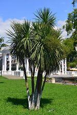 """die Keulenlilie """"Cordyline australis"""" wächst schnell zu einer Schönheit heran."""