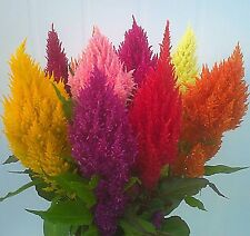 Plumed Cockscomb - Celosia argentea Mixed Color 150 seeds #1A83#
