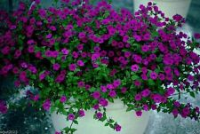 2000 Petunia Seeds~ Laura Bush Petunia~Heirloom Flowers