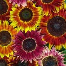 Pack Flower Seeds Sunflower Harlequin Mixed F1 Kings Quality Garden Seeds