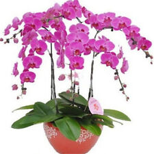FD1210 Phalaenopsis Bonsai Adorable Butterfly Orchid Flower Seeds ~10PCs Seeds~~