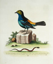 1759 Paradiestangare Paradise Tanager Titmouse of Paradise Edwards Kolor. Kupfe