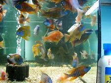 """(5) All Male 4""""  Large African Peacock Cichlid Tropical freshwater Assortment"""