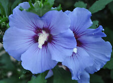 Rose of Sharon - BLUE SATIN - Hardy Perennial Shrub - Huge Blooms - 25+ Seeds