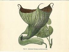 Stampa antica FIORE ARISTOLOCHIA GOLDIEANA botanica 1896 Old antique print