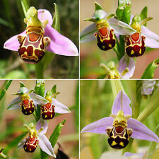 50PCS Rare Smile Face Bee Orchid Flower Seeds Unique Flower Plant Garden Decor