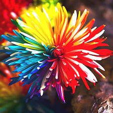 100pcs Rainbow Chrysanthemum Flowers Livingstone Daisy Seeds Home Garden Bonsai