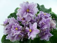 African Violet starter plant Louisiana Lullaby