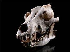 1Pc Arts Crafts High Precision Resin Skulls Replica Taxidermy Wolf Decor Vivid