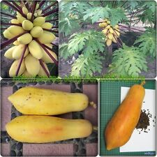 Golden PAPAYA, Dwarf, Delicious sweet Unique RARE, 15 Heirloom Seeds